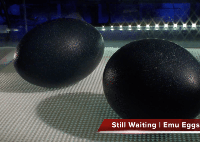 Channel 4 Easter Eggs Live Hatch